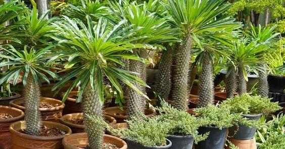 madagaszkári kaktuszpálma